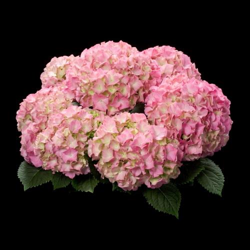 hba varieties, Beautiful flower